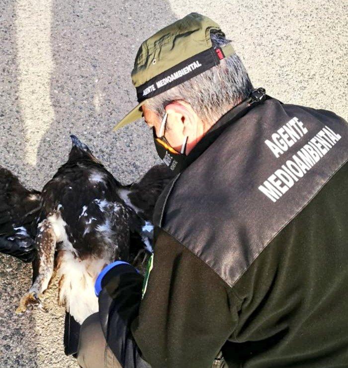 Un agente medioambiental examina el cadáver de la rapaz. Imagen: Cuenta Oficial de Agentes Medioambientales de la Región de Murcia