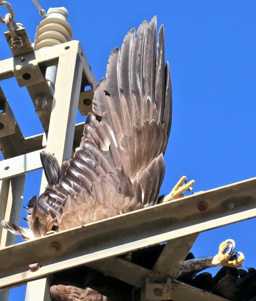 Águila real electrocutada en un tendido en Mula. Imagen: Cuenta Oficial de Agentes Medioambientales de la Región de Murcia