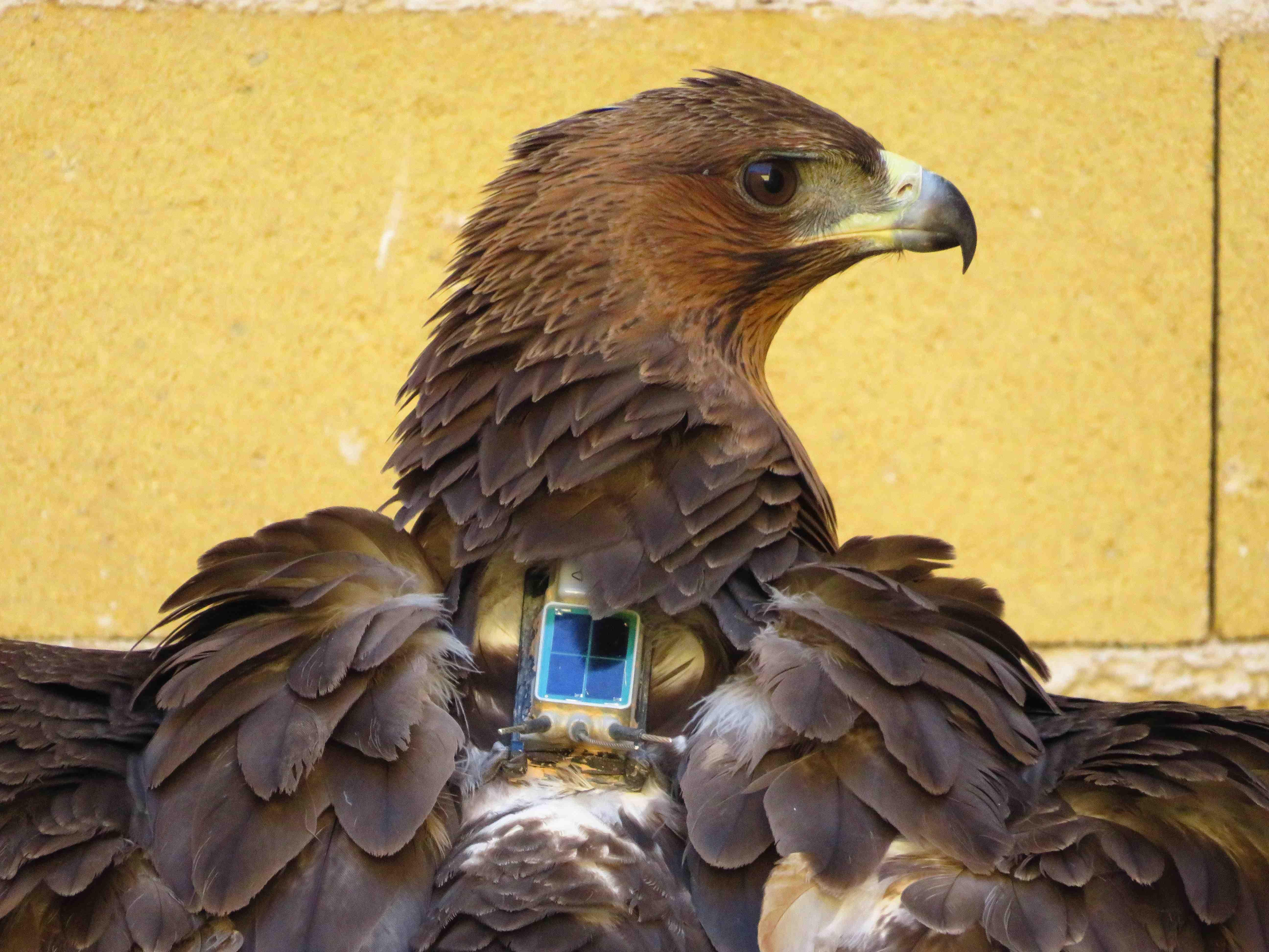 Águila de Bonelli con un emisor GPS a su espalda, antes de ser trasladada a una zona de reintroducción. Imagen: Aquila a-LIFE / Grefa
