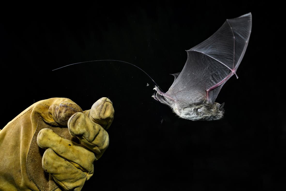 Un murciélago ratonero patudo salta al aire con su radiomarcador puesto. Imagen: Joaquín Zamora
