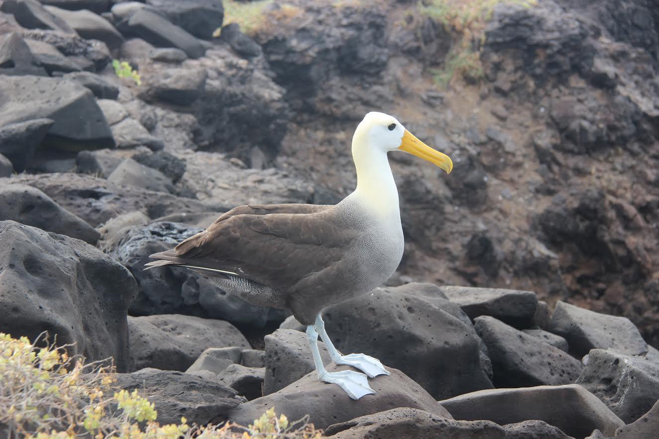 Albatros de Galápagos en la isla Española, Galápagos. Imagen: Fundación Charles Darwin