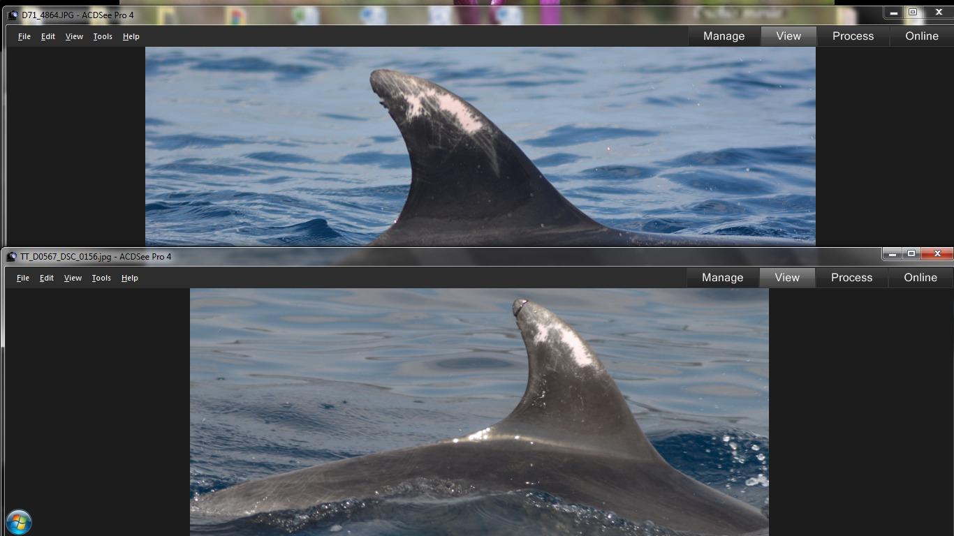 Aletas del catálogo de delfines mulares de ANSE con el individuo TT_D0567 en 2014 y en el día de ayer. Imagen: P. García / ANSE