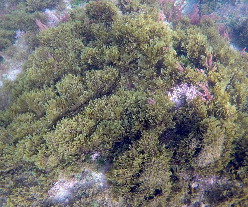Alga asiática. Imagen: Miteco