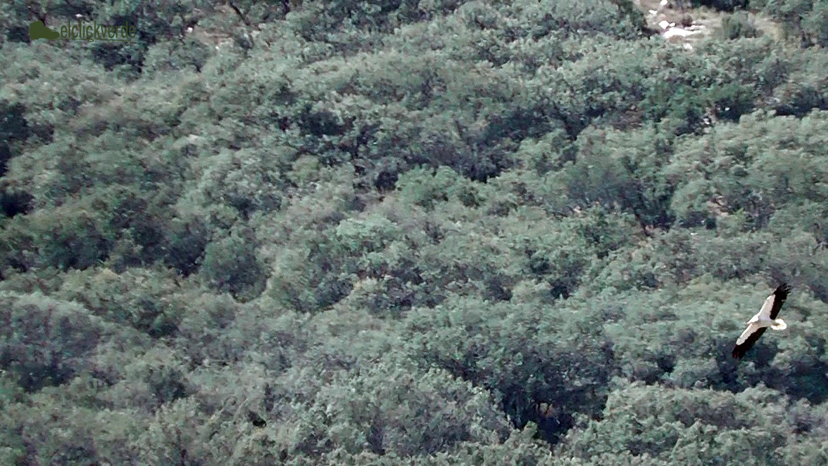 Foto: Un alimoche sobrevuela el tupido bosque