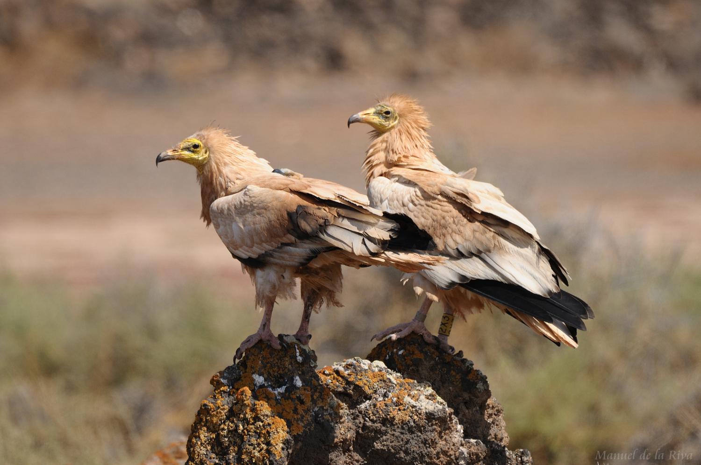Una pareja de este buitre, también conocido como guirre. Imagen: Manuel de la Riva / CSIC