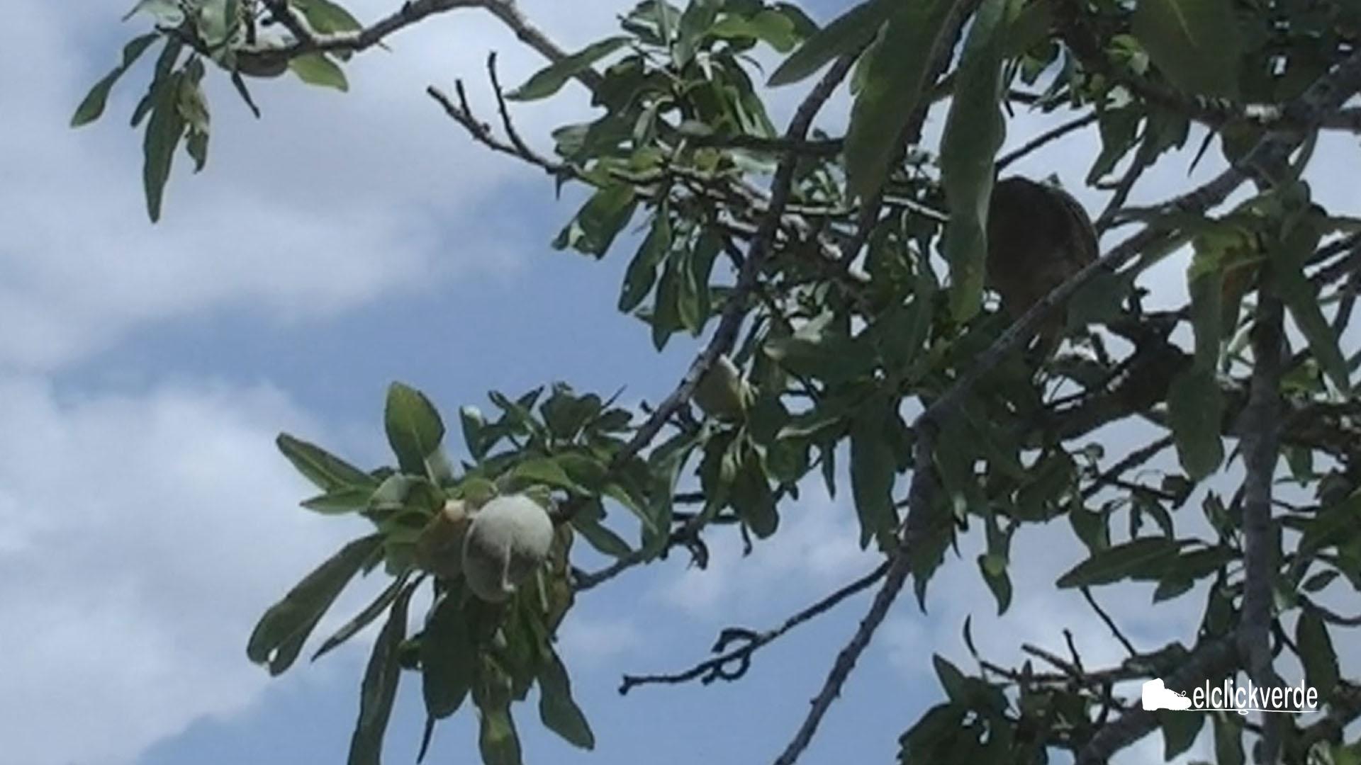 Almendras en el árbol.