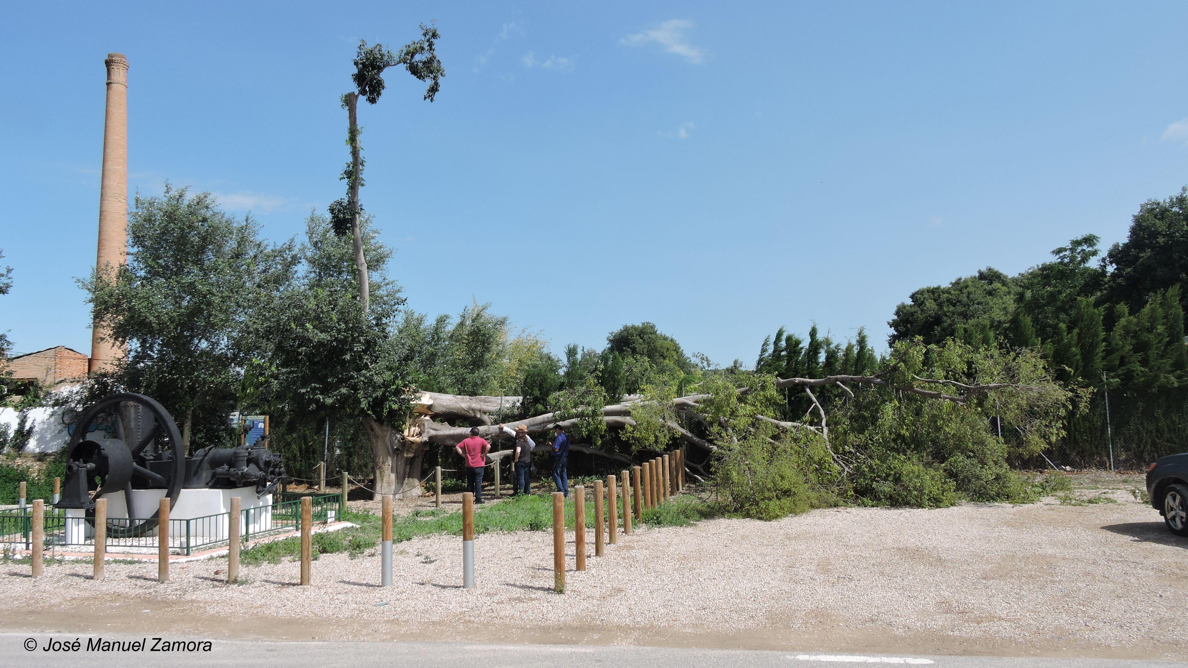 Estado en el que ha quedado el almez de Puebla de Soto tras el paso de la tormenta. Imagen: JM Zamora