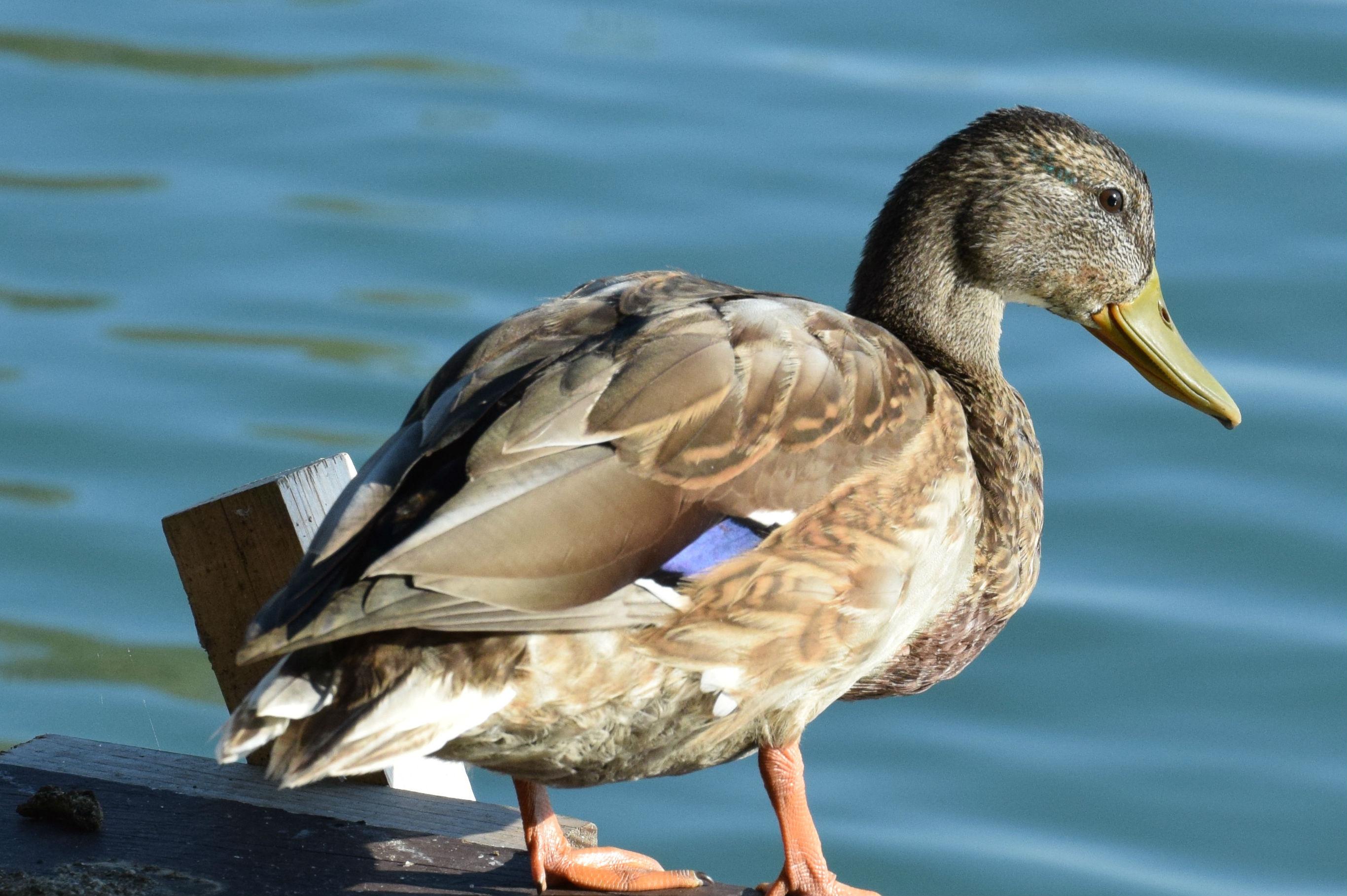 Ánade real, una de las aves más comunes en los humedales, mostrando el espejuelo./ (CSIC)