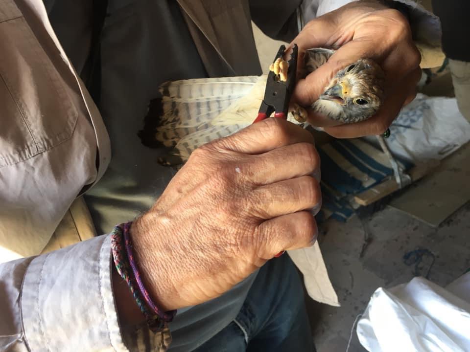 Anillamiento de cernícalo primilla. Imagen: Miryam P. Lara / Pcaeha