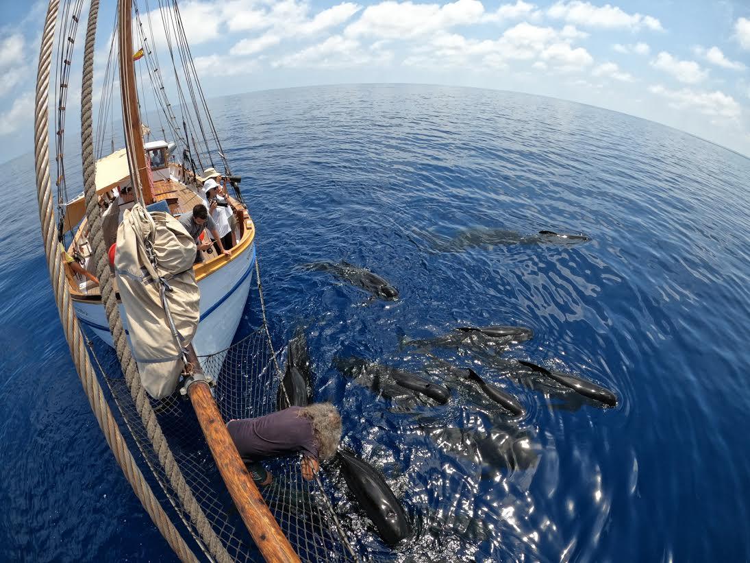 Manada de calderones en la proa del velero Else y tripulación haciendo fotoidentificación. Imagen: V. García / ANSE