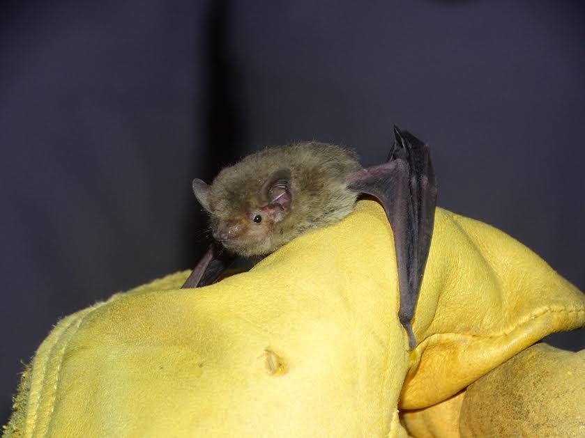 Un ejemplar del género Pipistrellus que ha ocupado una de las cajas.  Imágenes: A. Portillo y A. Guardiola/ANSE