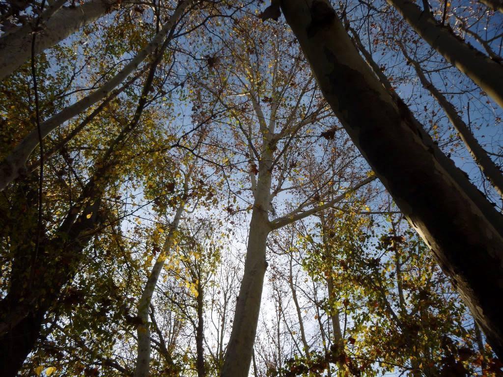 Algunos árboles monumentales se encuentran en acequias de la huerta de Murcia. Imagen: Huermur
