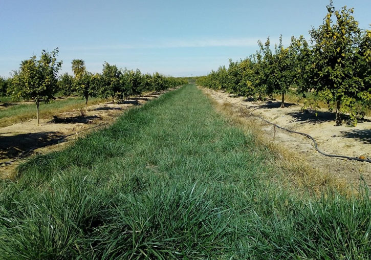 Cultivo de cítricos con la cubierta verde que se va a incorporar en los ensayos del proyecto. Imagen: Universidad de Valencia
