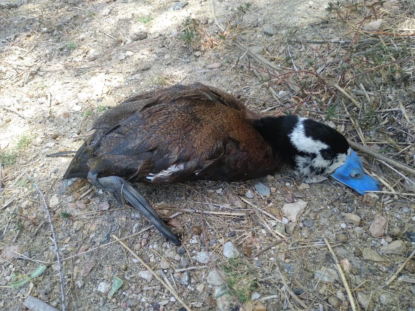 Cadáver de un macho de malvasía cabeciblanca, especie protegida, con su reconocible pico azul típico del periodo reproductor. Imagen: EEA