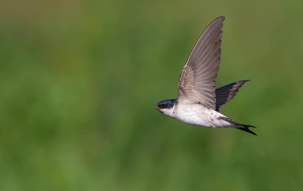Un ejemplar de avión común. Imagen: ©Nick Vorobey_shutterstock / SEO/BirdLife