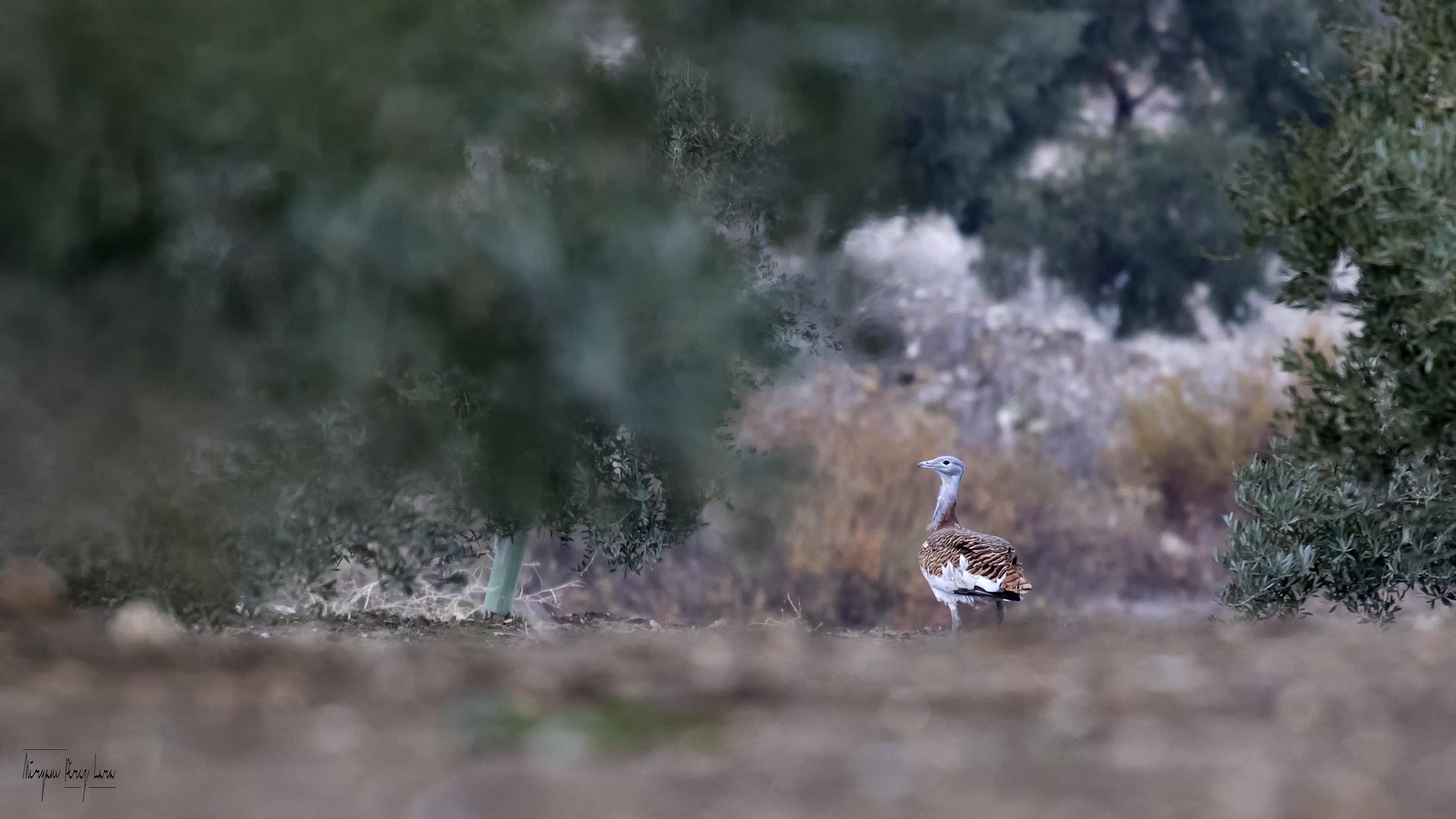 Una avutarda ('Otis tarda') en campo de olivar. Imagen: Miryam P. Lara / Pcaeh
