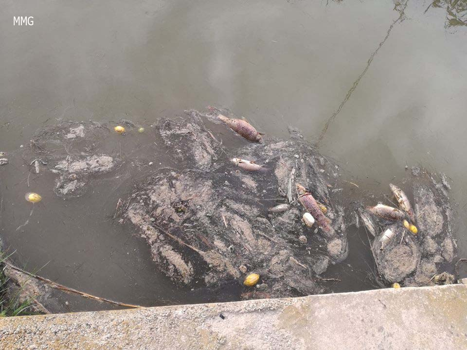 Peces muertos en el río Segura. Imagen: Manuel Medina Gutiérrez