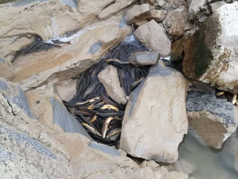 Peces muertos en una charca sin conexión de agua. Imagen: Manuel Medina Gutiérrez