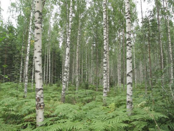 Una de las parcelas de bosque muestreadas, con varios abedules ('Betula pendula') de un bosque boreal europeo, en Finlandia. Imagen: MNCN