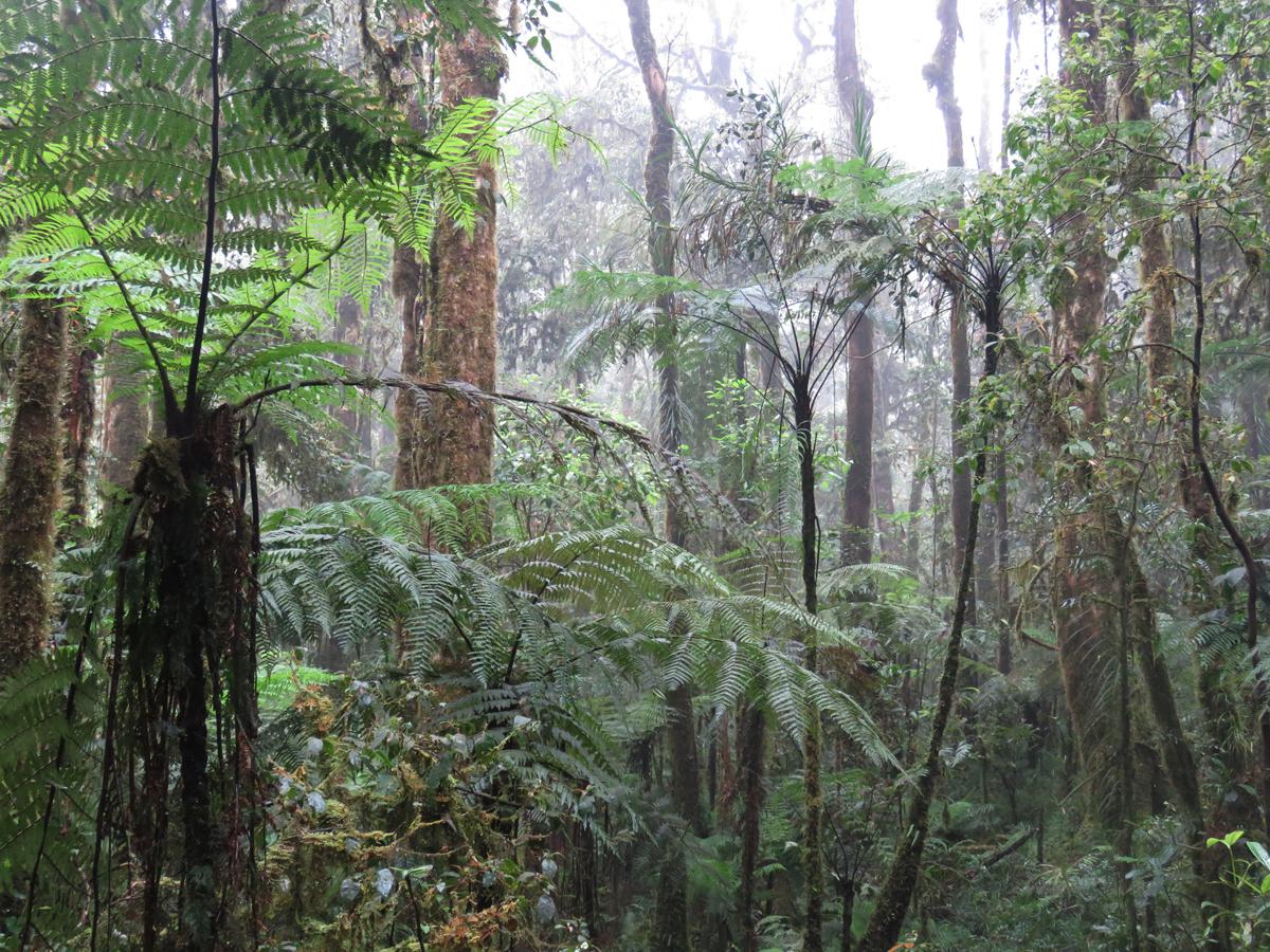 Interior del bosque nublado a 1.200 m en las montañas Kumawa, Papúa Occidental. Imagen: Borja Milá / MNCN-CSIC