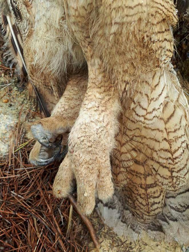 Detalle del las patas, sin anillar. Imagen: Carla Tromp