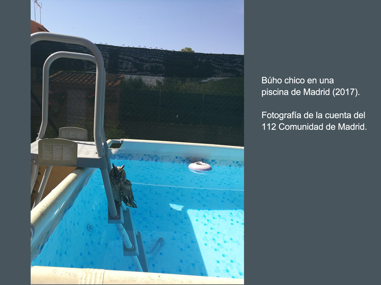 Búho chico, en una piscina privada de Madrid. Imagen: 112 Comunidad de Madrid