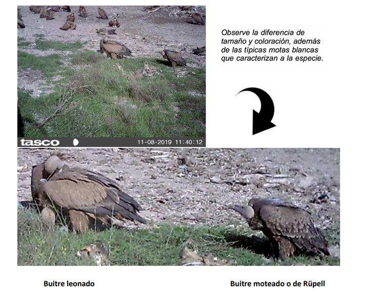 Primer buitre de Rüpel avistado en la Región, entre los leonados. Imagen: CARM