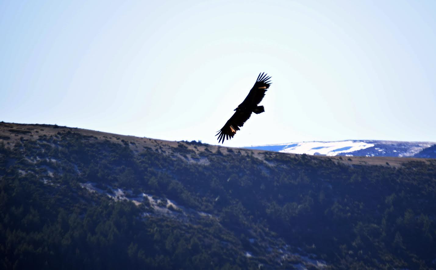 Buitre negro en la Sierra de la Demanda, ya liberado en una temporada anterior. Imagen: Grefa