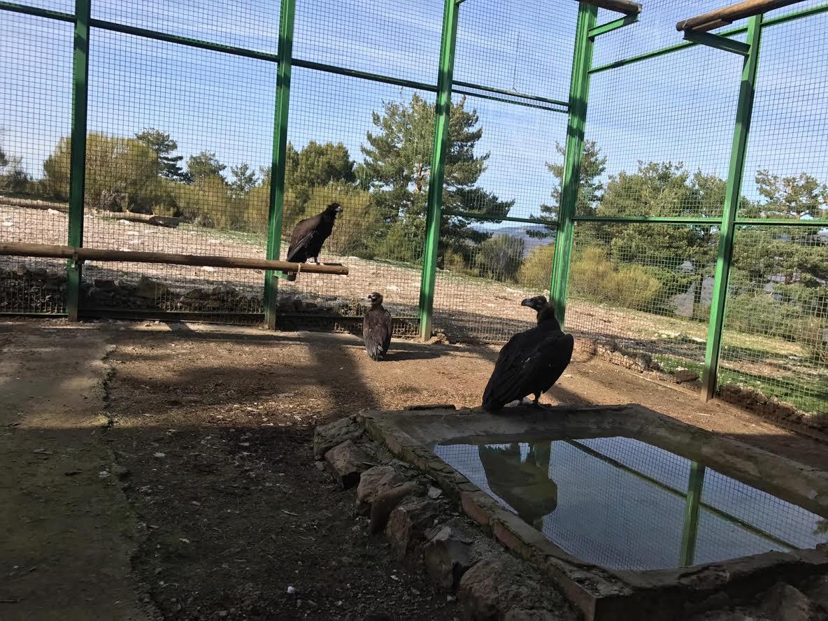 Primeros buitres negros introducidos hoy en la jaula de aclimatación de Huerta de Arriba (Burgos). Imagen: Grefa