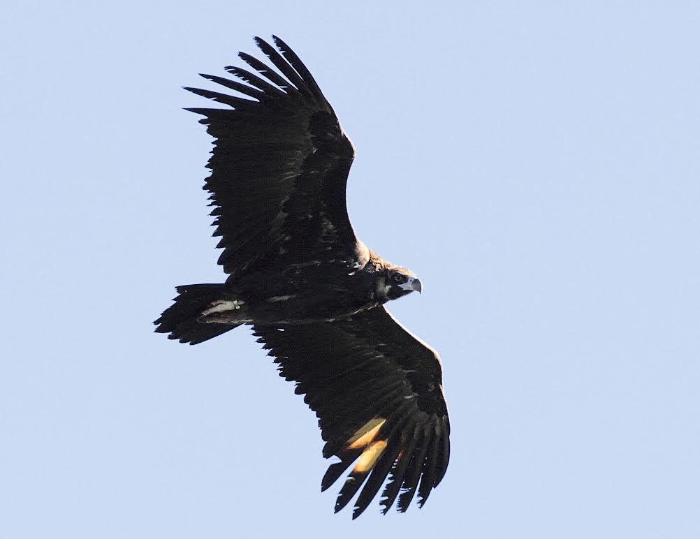Buitre negro en vuelo con marcas alares para facilitar su seguimiento. Imagen: Grefa