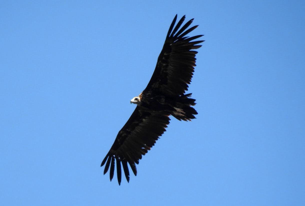 Buitre negro en vuelo. Esta especie amenazada es una de las principales víctimas del uso ilegal de veneno en el medio natural. Imagen: Grefa