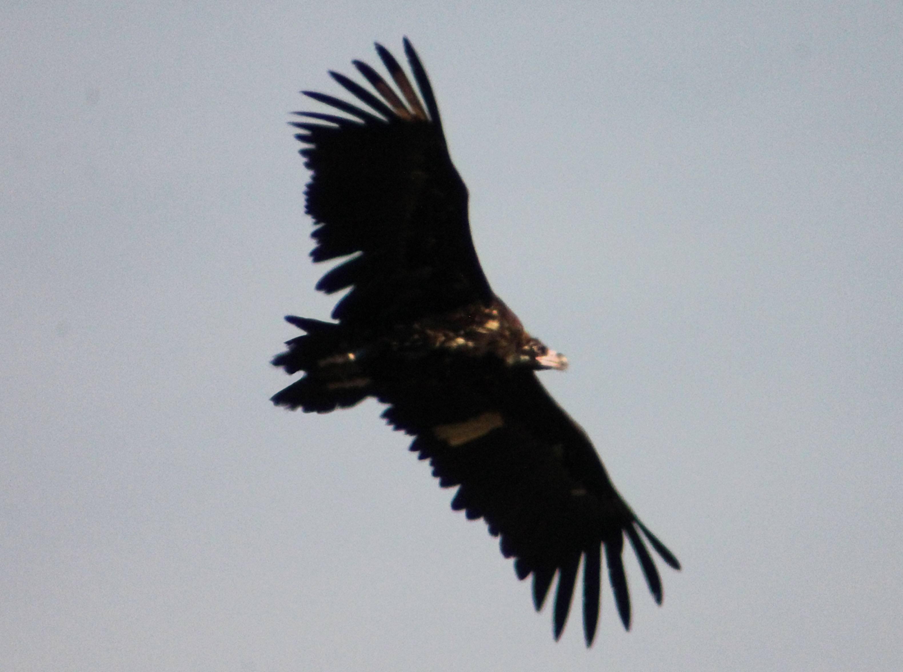 Buitre negro en vuelo (Corleone) tras ser liberado ayer en la Sierra de la Demanda. Imagen: Javier Otal