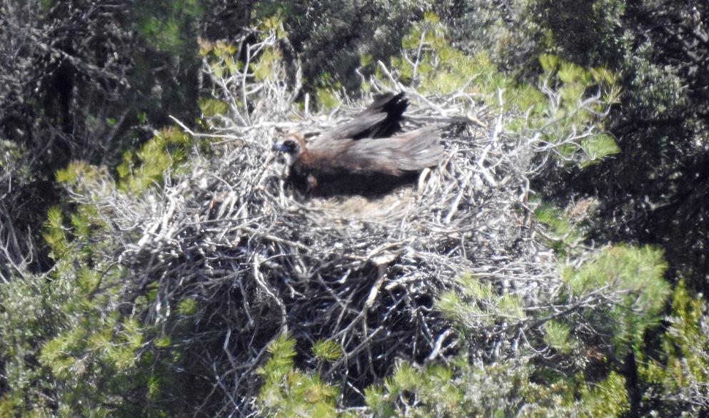 Un buitre negro de la colonia de Boumort (Lleida) incuba su huevo en la primavera de 2019. Foto: PRBNC / Grefa