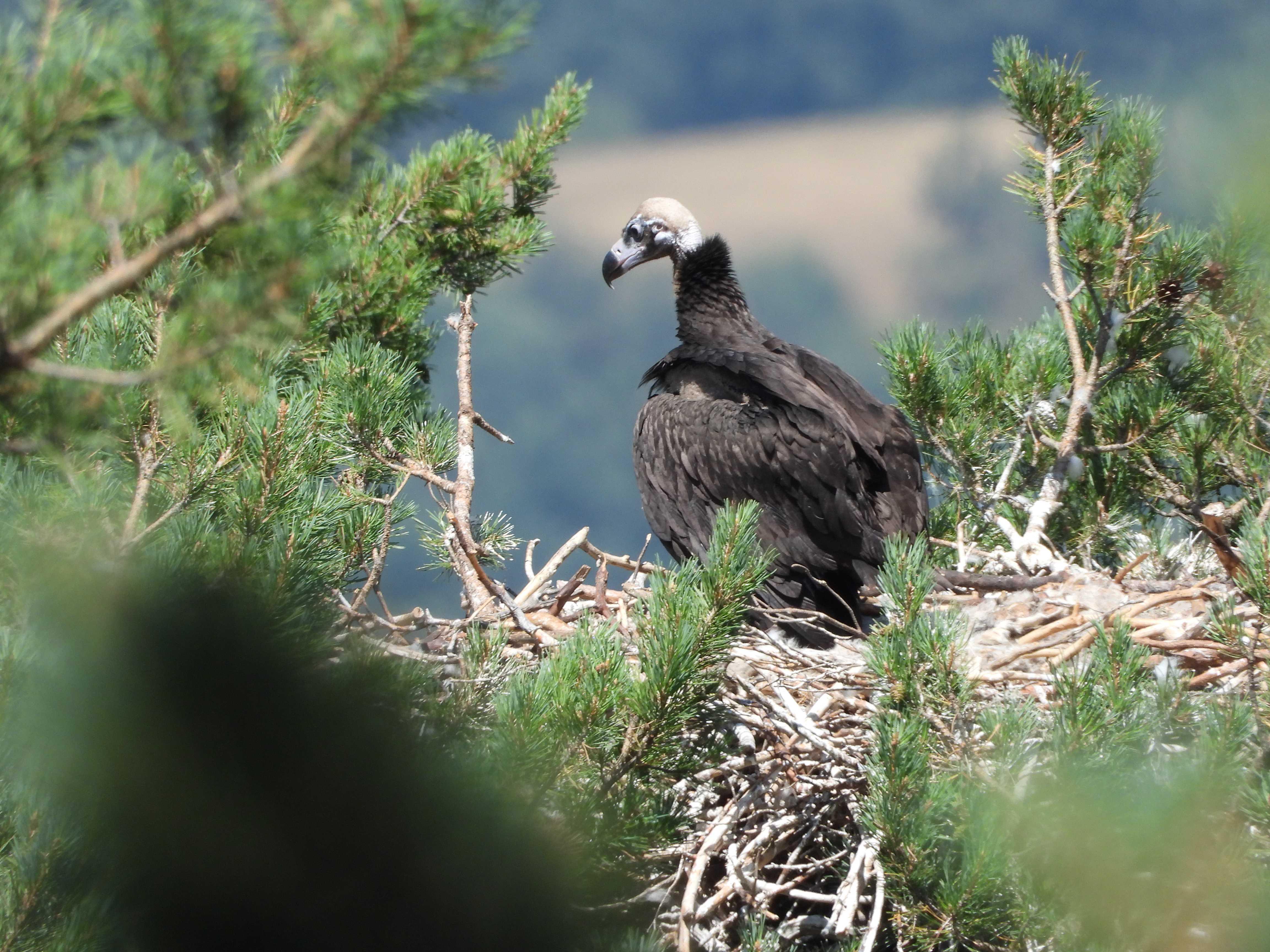 Buitre negro nacido en la Sierra de la Demanda en 2021, en su nido de Tolbaños de Arriba (Burgos). Imagen: Grefa