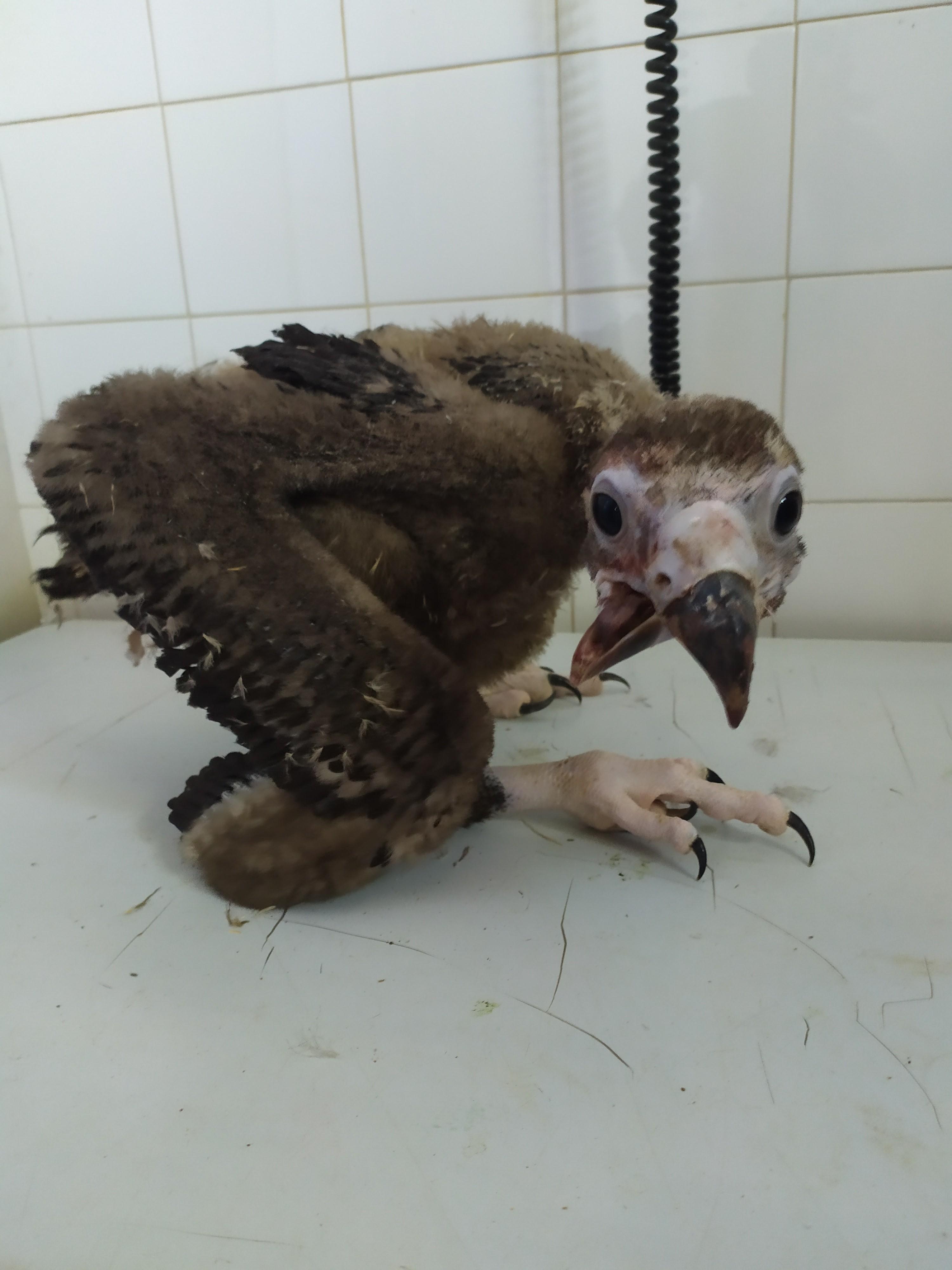 Detalle del pico del pollo de Buitre negro a su ingreso en el hospital de AMUS. Imagen: AMUS
