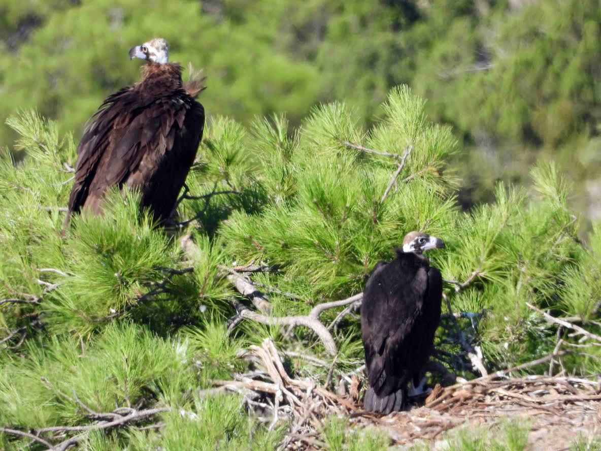 Buitre negro adulto y su pollo en la colonia de Boumort, en el Pirineo catalán. Imagen: Grefa