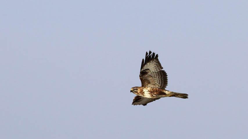 Un busardo ratonero en vuelo. Imagen: UCLM