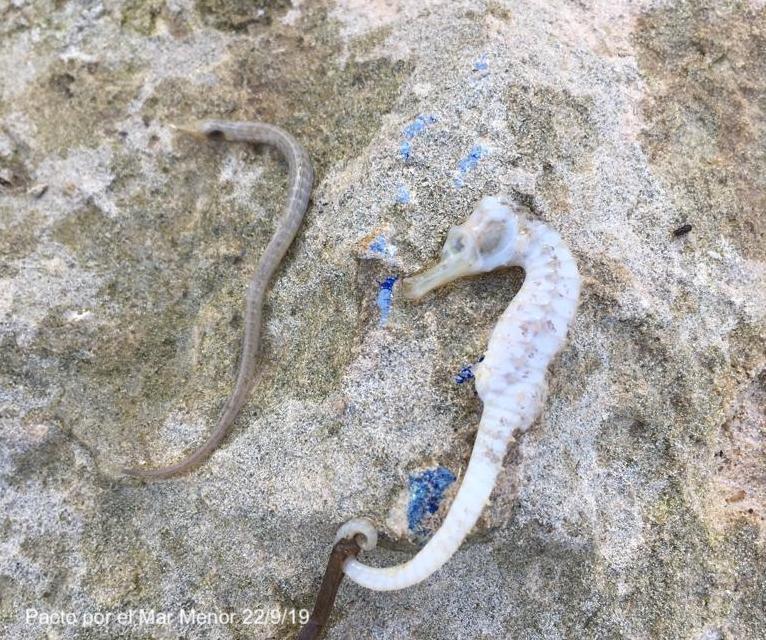 Caballito de mar y aguja muertos encontrados en la orilla el 22 de septiembre de 2019. Imagen: Pacto por el Mar Menor
