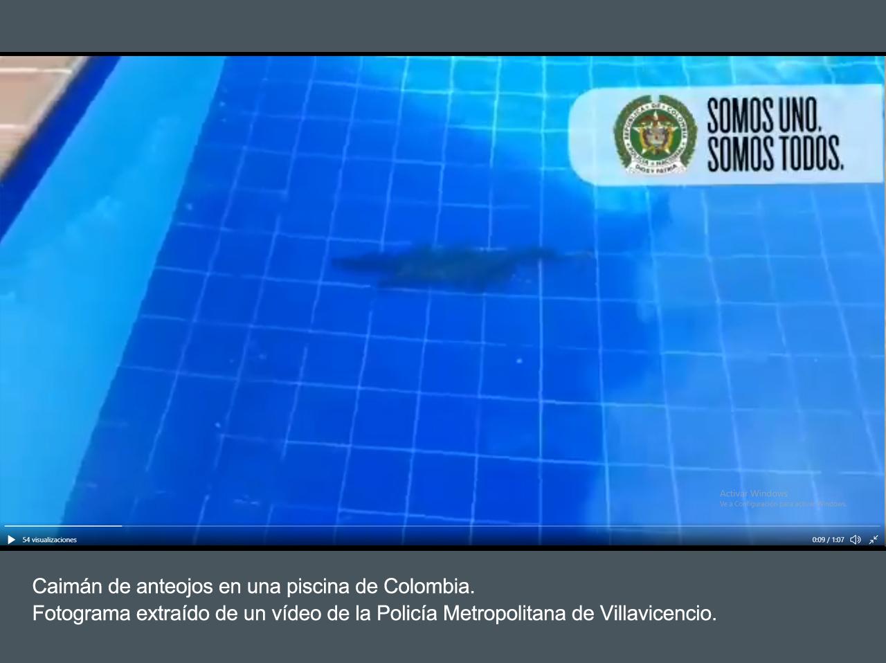 Un caimán, nadando en una piscina de Colombia. Imagen: Policía Metropolitana de Villavicencio