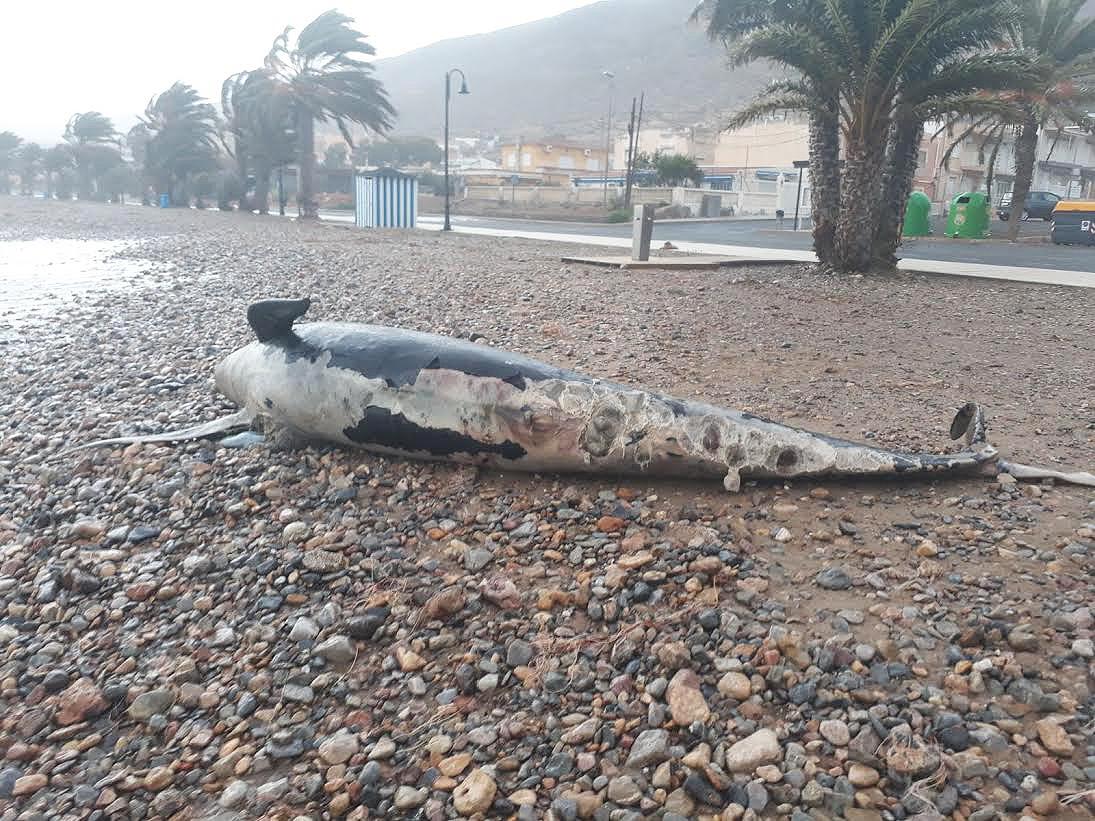 Calderón varado en la playa de La Azohía. Imagen: Benjamín Gutiérrez Cervantes