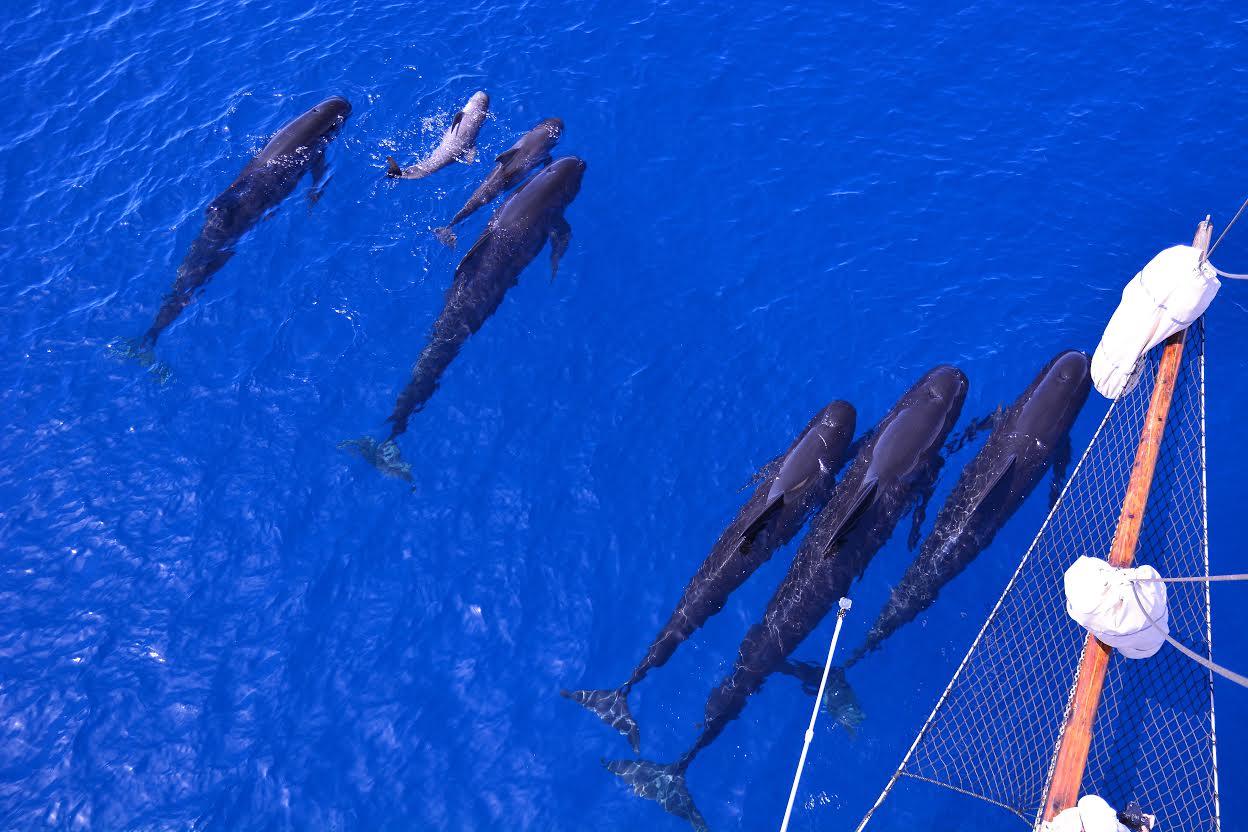 Calderones nadando con sus crías, vistos desde Else. Imagen: ANSE