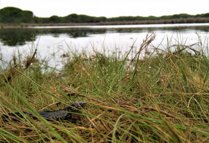 Ejemplar de tritón pigmeo ('Triturus pygmaeus') cerca de una charca del Parque Nacional de Doñana. Imagen:  Francisco J. Oficialdegui / CSIC