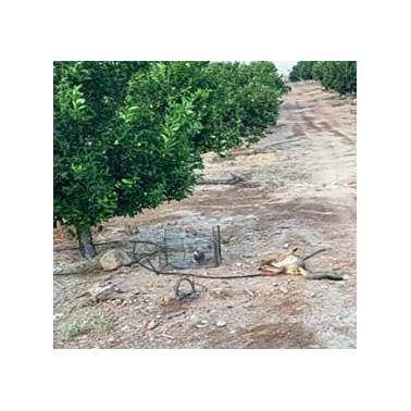 La zorra supuestamente capturada en presuntas condiciones de irregularidades en el trampeo. Imagen: ANSE