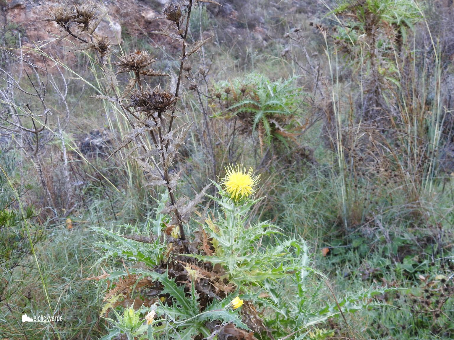 Cardos en flor, para regocijo de la fauna. Imagen: elclickverde