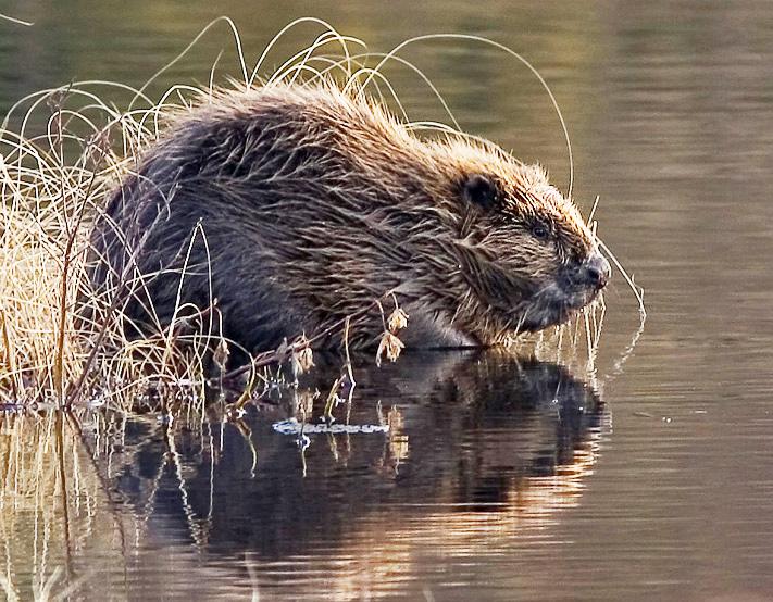 Un castor europeo. Imagen de Harald Olsen, de Wikipedia en https://commons.wikimedia.org/wiki/File:Beaver_pho34.jpg