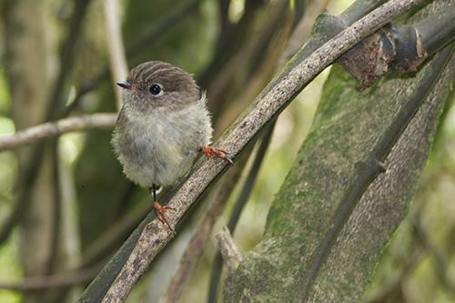 Hembra de petroica carbonera (Petroica macrocephala) encaramada a una rama en la isla sur de Nueva Zelanda. Imagen: Jon Sullivan / CSIC