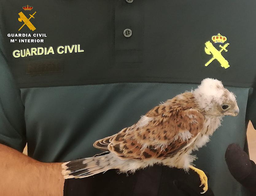 El polluelo recién recuperado. Imagen: Seprona