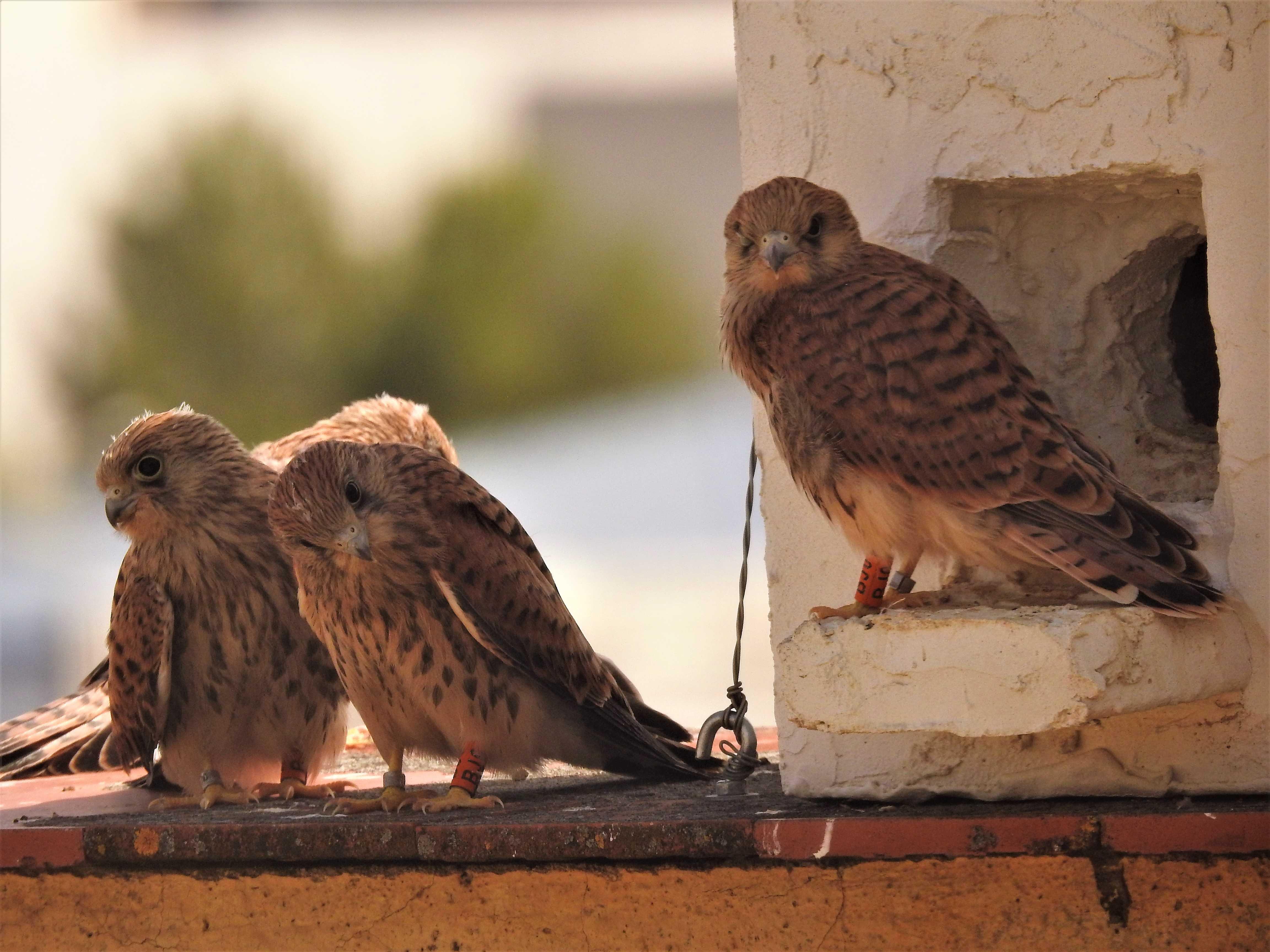 Cernícalos primilla jóvenes junto a un nidal en el silo de Baena (Córdoba). Imagen: Grefa
