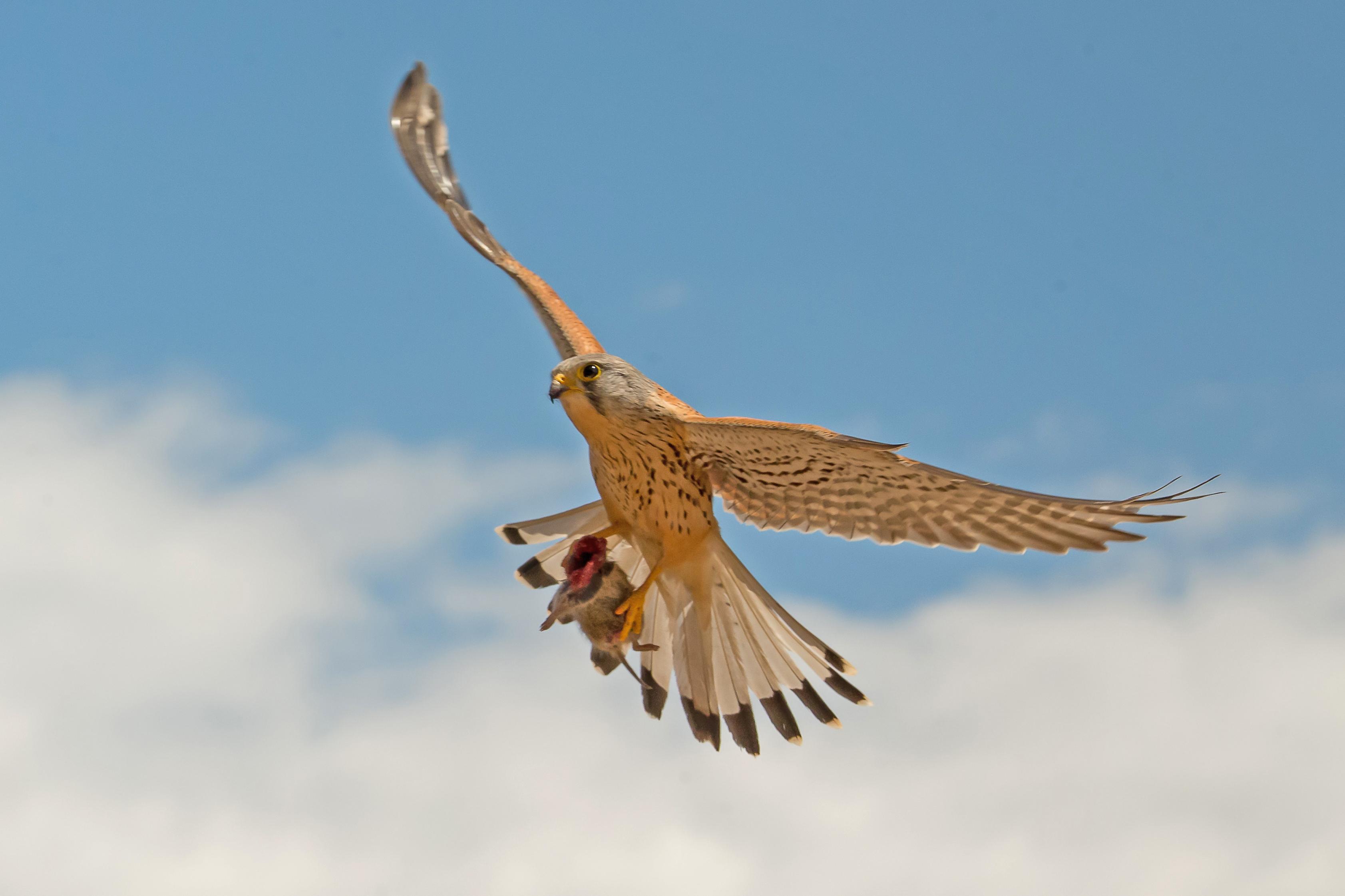 Cernícalo volando camino del nido con un topillo que acaba de apresar.  Imagen: MNCN / Alberto Álvarez / Canon España