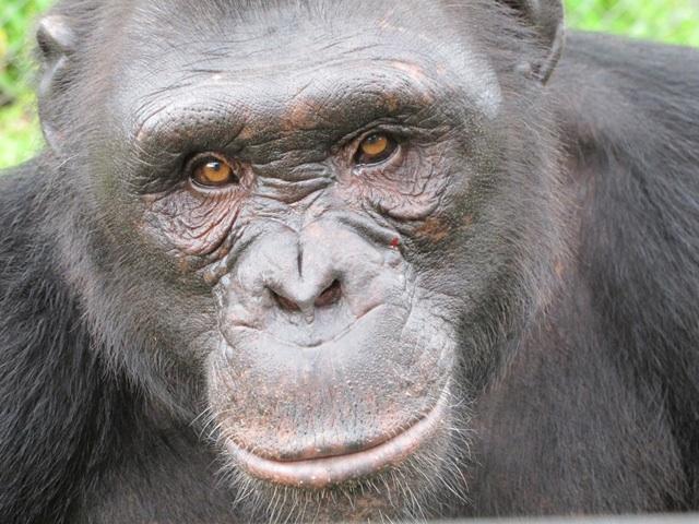 Chimpancé de Nigeria-Camerún. (Foto:  LWC).